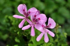三朵明亮的桃红色大竺葵花 库存照片