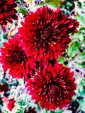 三朵明亮的红色花在庭院里 免版税库存图片