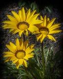 三朵明亮的黄色雏菊 库存图片