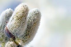 三朵杨柳柔荑花,与拷贝空间的宏观射击 库存照片