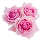 三朵桃红色开花的玫瑰 免版税库存照片