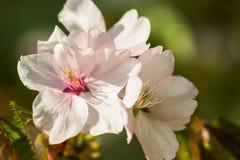 三朵桃红色樱桃花宏观看法  免版税图库摄影