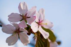 三朵桃红色樱桃花 库存图片