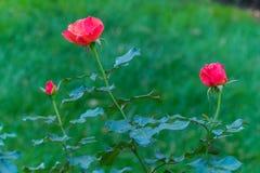 三朵桃红色玫瑰在不同的阶段开花在绿叶中 库存图片