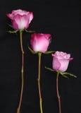 三朵桃红色玫瑰,黑背景 免版税库存照片