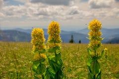 三朵植物花,费尔德伯格,黑森林,德国 库存照片