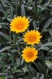 三朵橙色雏菊花 免版税图库摄影