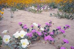 三朵沙漠花 库存图片