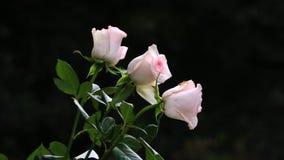 三朵浅粉红色的玫瑰 库存图片