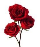 三朵深红玫瑰 免版税图库摄影