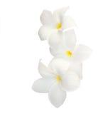 三朵热带花 图库摄影