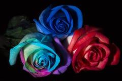 三朵玫瑰,三种颜色 免版税库存照片