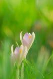 三朵番红花在草甸 库存图片