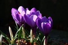 三朵番红花 库存图片