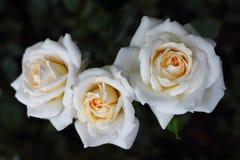 三朵白玫瑰`蜂蜜牛奶`特写镜头在玫瑰园里 图库摄影