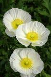 三朵白罂粟花 库存图片