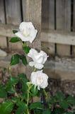 三朵白色玫瑰花,绿色分支植物,木篱芭背景 库存图片