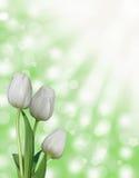 三朵白色郁金香花有绿色抽象bokeh春天背景 免版税库存图片