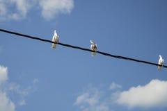 三朵白色鸠、天空和云彩 免版税图库摄影