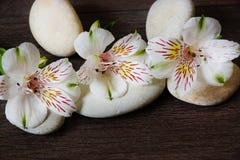 三朵白色alstromeria花在按摩的石头说谎 免版税库存图片
