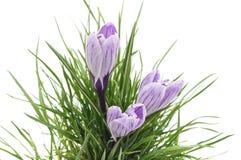三朵紫色番红花 免版税库存图片