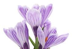 三朵紫色番红花 库存照片