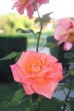 三朵美丽的桃红色玫瑰在一个美丽的庭院里拍摄了 库存照片