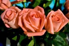 三朵美丽的桃红色玫瑰 免版税库存照片