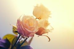 三朵美丽的玫瑰 库存图片