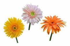 三朵美丽的色的大丁草花 图库摄影