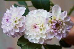 三朵花关闭一朵米黄和桃红色大丽花花 免版税库存图片