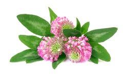 三朵花变粉红色在白色的三叶草 库存图片