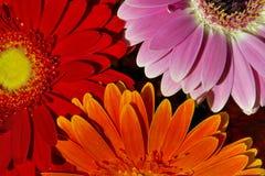 三朵花,桔子,红色,桃红色 背景 图库摄影