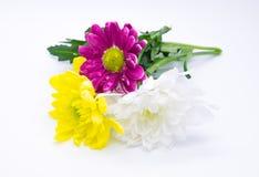 三朵菊花变粉红色并且染黄和白色接近的宏指令花macrophoto 免版税库存照片