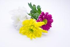 三朵菊花变粉红色并且染黄和白色接近的宏指令 免版税库存图片