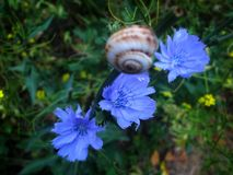 三朵蓝色花和一只蜗牛在开花从事园艺 图库摄影