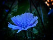 三朵蓝色花和一只蜗牛在开花从事园艺 免版税库存照片