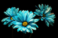 三朵蓝色雏菊 免版税库存图片