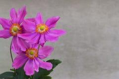 三朵银莲花属花 库存图片