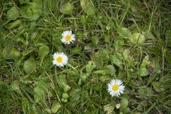 三朵雏菊在草甸-初夏开花 免版税库存图片