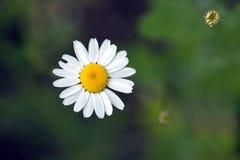三朵领域雏菊花在夏天特写镜头增长, 免版税图库摄影