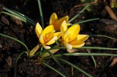 三朵黄色番红花 库存照片
