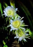 三朵龙花亮光在晚上 库存图片