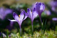 三朵紫罗兰色番红花 图库摄影
