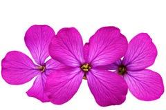 三朵紫罗兰色花。在白色背景的特写镜头。隔绝。 图库摄影