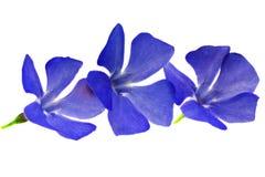 三朵紫罗兰色花。在白色背景的特写镜头。隔绝。 免版税库存图片
