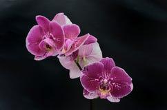 三朵紫色兰花 免版税库存照片