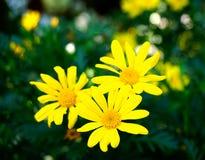 三朵黄色狂放的菊花花在春天 图库摄影