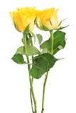 三朵黄色玫瑰花束。 库存照片