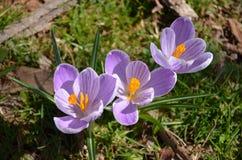 三朵紫色番红花花群 库存照片